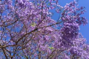 Say Đắm Mùa Hoa Phượng Tím Nước Úc