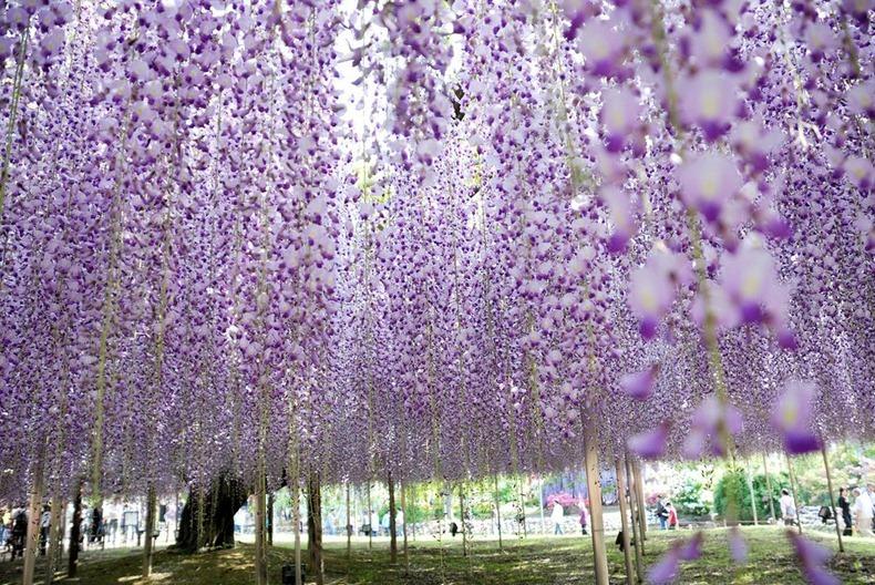 Tour Du Lịch Nhật Bản Mùa Hoa Tử Đằng: Tokyo - Núi Phú Sĩ - Nagoya - Kyoto - Osaka
