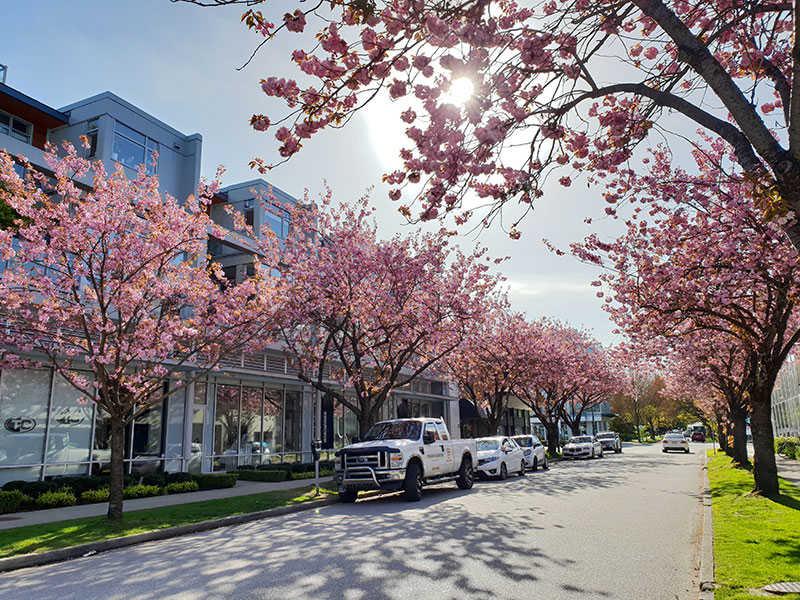 Tour Du Lịch Liên Tuyến Canada - Mỹ Ngắm Hoa Anh Đào: Vancouver - San Francisco - San Jose