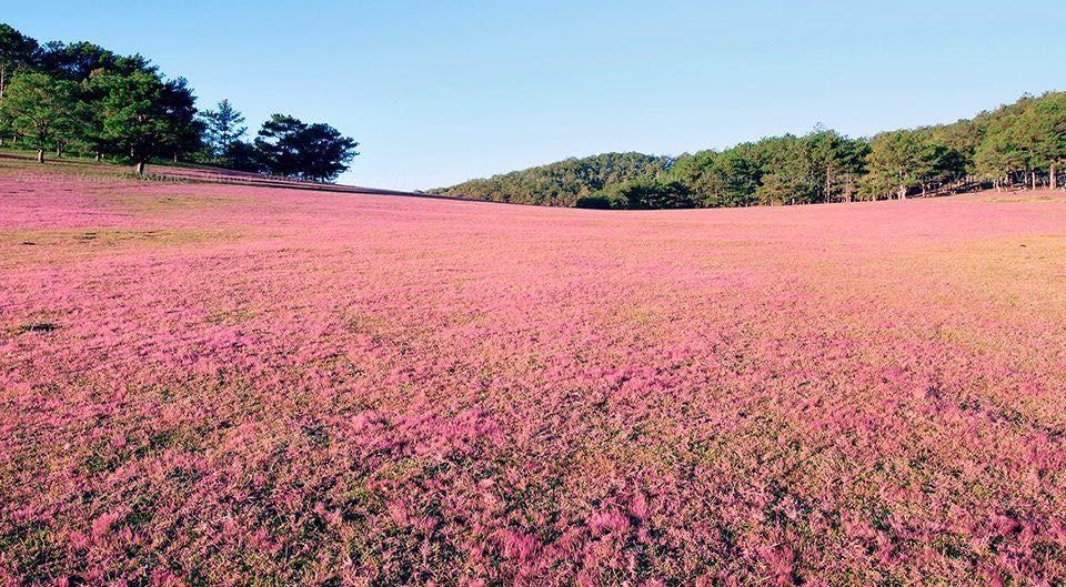 Đồi cỏ hồng Gia Lai