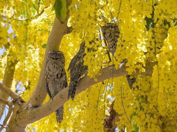 mùa hoa hoàng yến tại Úc