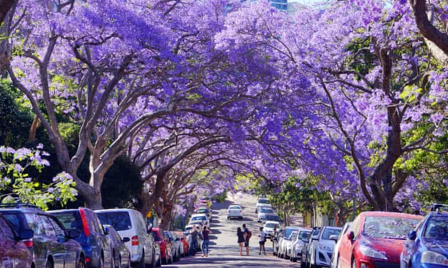 Mùa hoa phượng tím hay còn gọi là Jacaranda